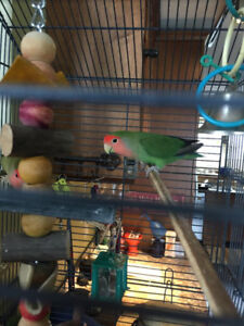 A pair of beautiful Peachfaced love birds with Cage and All
