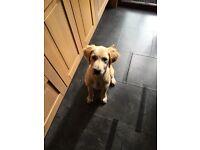 Golden Retriever Puppy - Male