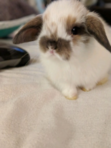 Baby mini lop house bunnies (serious inquiries only!)