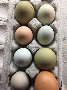 Easter Egger chicks available Feb. 4th