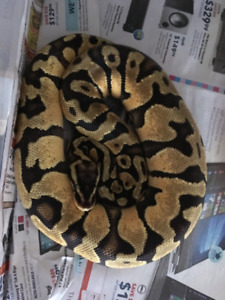 Male Pastel Enchi yellowbelly will trade for a bel