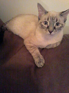 Siamese seal point x tabby female 8 months NEEDS HOME ASAP