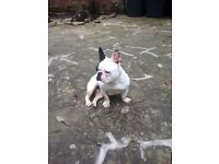 ADORABLE FRENCH BULLDOG (RELUCTANT SALE)