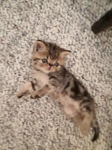 Chaton exotic Short haire