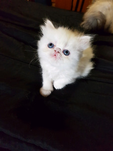 Registered persian kittens ready to go