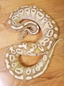 Male Banana Lesser Ball Python ♡