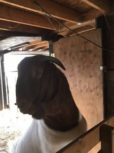 Boer goat stud for sale