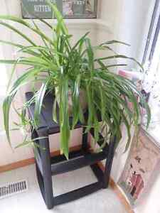 Large Spider Plants in assorted decorative pots