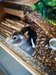 Guinea pig (reduce price)