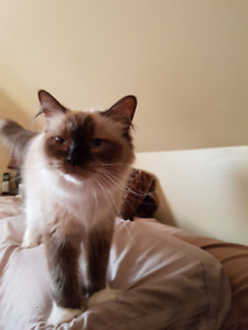 Retiring Ragdoll female Available