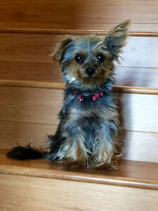 Sofie T-cup Yorkie
