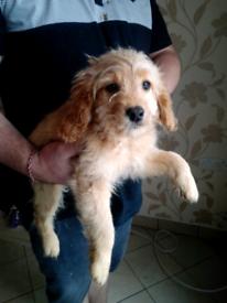 12 week old cockapoo puppy