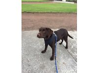 Chocolate labrador for sale - 4 & and half months old