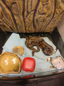 Ball python and large enclosure for sale