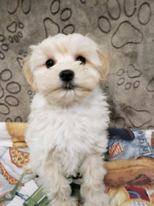Maltipoo puppies for pet homes (Maltese x Toy Poodle)