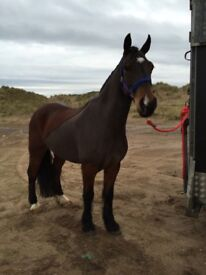 Welsh Section D Pony, 11yr old, 14,1 hh