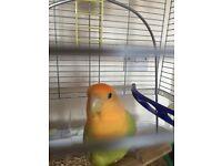 Love bird for sale