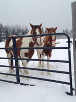 Two Paint Horses For Sale