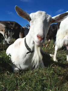 Raw Form Goat Milk Products