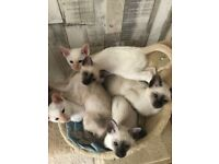 georgeous siamese kittens - ready to leave now