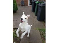 White male American bulldog for sale