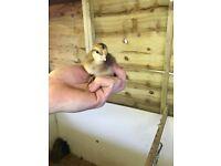 Cream leg bar chicks