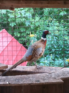 Breeding pair of Pheasants