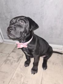 Unique Sharpei x Bullmastiff x Gsp girl puppy