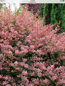 Beautiful Baby Rosy Glow Barberry Shrubs $2-3 each.