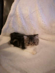Exotic shorthair de qualite
