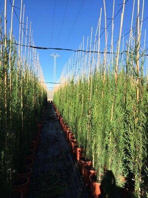 5x Mittelmeerzypresse 200 cm Säulen Toskana Zypressen Zypresse Cupressus