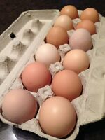 Fertilized Chicken Eggs - Barnyard Mix