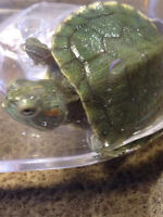 Selling Cute Red Eared Slider (turtle)