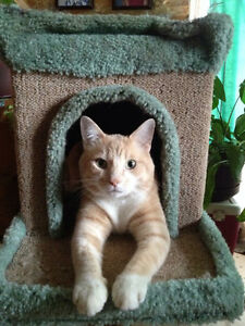 LOST: 5 yr old Male Orange Dilute Tabby