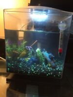 Fish tank with Bata and 5 ghost shrimp