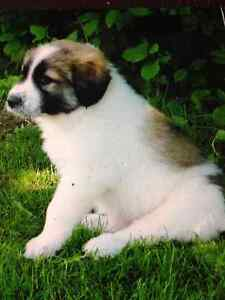 Great Pyrenees purebred puppies for sale, must go to farm/ranch!