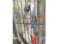 African grey parrot with cage and accessories
