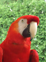 SCARLET MACAW WITH CAGE ++ / ARA MACAO AVEC CAGE ++
