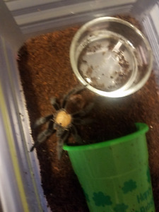 two Tarantulas for sale