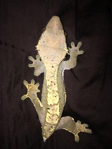 exo  terra terranium with 2 crested geckos -potential breeders