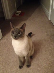7yr shy female siamese LOST last seen around Atkinson/Halifax St