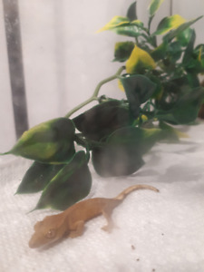 Cute Gecko For Sale