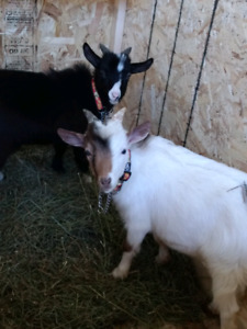 Two Little Goats!