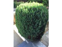 Garden bush FREE