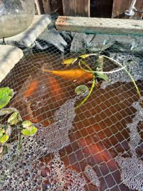 Koi & Goldfishes for sale