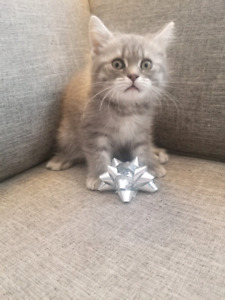 Scottish Straight Blue Tabby Kittens