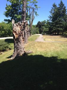 Sugar maple logs for sale..CHEAP