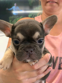 Stunning lilac and tan and chocolate and tan French bulldog pups