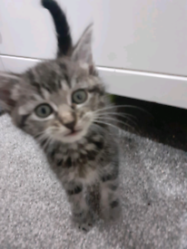 Half ragdoll silver & black kittens