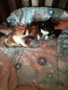 3 chihuahua puppies for sale